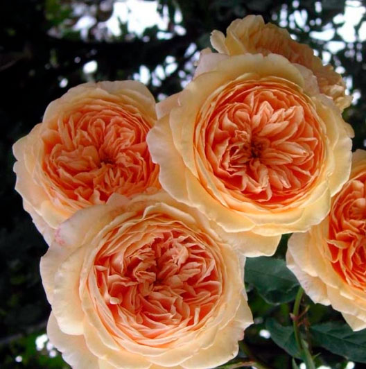 Роза Crown Princess Margareta